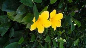 一个对在灌木的明亮的黄色木槿flowes 免版税库存图片