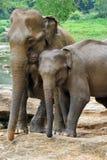 一个对在爱的大象 库存图片