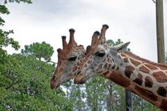 一个对在那不勒斯动物园的Girrafes 免版税库存照片