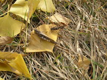 一个对在黄色叶子的蚂蚱 图库摄影