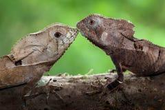 一个对头盔状的蛇怪 库存图片