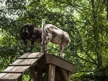 一个对山羊 免版税库存图片