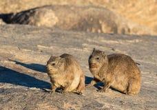 一个对岩石非洲蹄兔或Dassie 免版税图库摄影