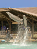 一个对摄影师的海豚突破口Dolphinaris的, Ariz 免版税库存图片