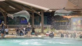 一个对摄影师的海豚突破口Dolphinaris的, Ariz 免版税库存照片