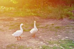 一个对滑稽的白色鹅沿肮脏的象草的围场走 免版税图库摄影
