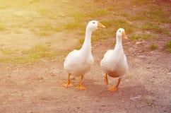 一个对滑稽的白色鹅沿肮脏的象草的围场走 免版税库存照片