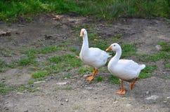 一个对滑稽的白色鹅沿肮脏的象草的围场走 库存照片