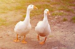 一个对滑稽的白色鹅沿肮脏的象草的围场走 免版税库存图片