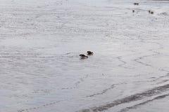 一个对澳大利亚使用铲子工作的人鸭子搜寻 免版税库存照片