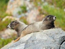 一个对的特写镜头在岩石,瑞尼尔山, Wa的古老的土拨鼠 免版税库存图片