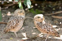 一个对的画象小猫头鹰 免版税库存照片