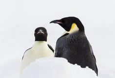 一个对皇企鹅 库存图片