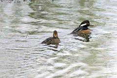 一个对秋沙鸭鸭子 免版税库存图片
