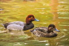 一个对红头发人在池塘低头游泳 免版税库存照片