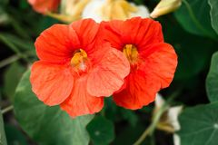一个对美丽的红色花在庭院里 免版税图库摄影