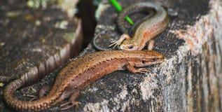 一个对胎生蜥蜴或共同的蜥蜴Zootoca vivipara 库存图片