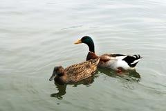 一个对鸭子 库存图片