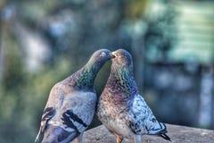 一个对鸽子 免版税库存照片