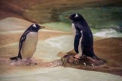 一个对pengiuns在一个动物园里在苏格兰 免版税库存图片