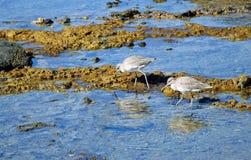 一个对Willets搜寻在岩石岸的食物的滨鸟在新月形海湾附近,在拉古纳海滩,加利福尼亚 库存图片
