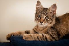 一个小三个月的小猫被混合的品种 免版税库存图片