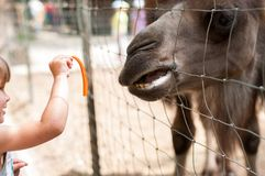 一个小女孩在动物园里喂养一棵骆驼红萝卜 库存图片