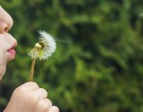 一个小孩子吹一个蓬松蒲公英 库存图片