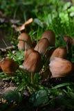 一个小小组在草的棕色蘑菇 图库摄影