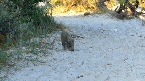 一个小棕色小猪寻找在含沙土壤的食物 股票视频