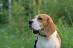 一个小猎犬的画象在夏天森林里 库存图片