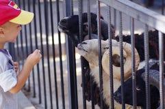 一个小男孩在动物园里哺养公羊 库存照片