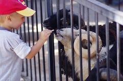 一个小男孩在动物园里哺养公羊 免版税库存图片