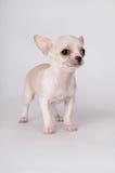 一个小的白色小狗身分 免版税库存图片