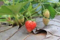 一个小的草莓在Khaokho农场 库存照片