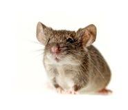 一个小的鼠标 库存照片
