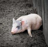 一个小的滑稽的小猪的画象在农场的 免版税库存图片