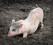 一个小的滑稽的小猪的画象在农场的 图库摄影
