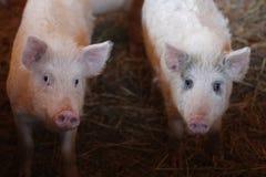 一个小的滑稽的小猪的画象在农场/小的小猪的 免版税库存图片