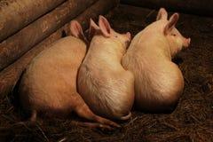 一个小的滑稽的小猪的画象在农场/小的小猪的 免版税图库摄影