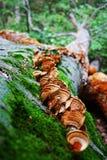 一个小组与褐色的蘑菇和在下落的树的黄色波浪在森林青苔和真菌特写镜头 免版税库存照片