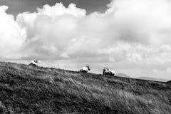 一个小组在一个山峰的母牛,在与大的深天空下 免版税库存照片