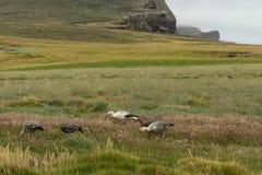 一个小组在一个象草的领域的山地鹅 免版税库存图片