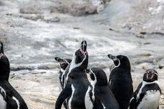 一个小组在动物园的企鹅 图库摄影