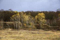 一个小组在森林的背景的桦树 免版税库存照片
