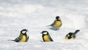 一个小组在白色闪烁雪的鸟明亮的山雀在同水准 免版税库存图片