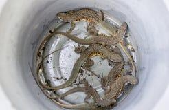一个小组在金属水池的蝴蝶蜥蜴在泰国,蝴蝶蜥蜴 免版税库存图片