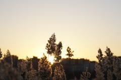 一个小组在领域的芦苇,与两他们从后面打开了由日落光 免版税库存图片