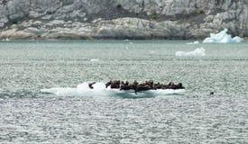 一个小组在Iceburg的狂放的封印狮子杂乱的一团Togther 免版税库存图片