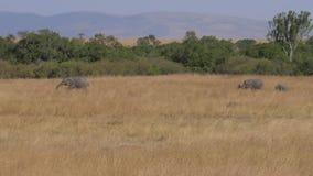 一个小组大象在与烘干的领域非洲大草原的草 股票录像